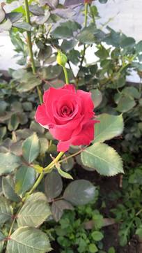 一支独秀玫瑰花