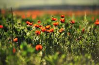 前后虚焦的红花