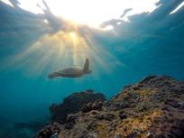 游动的海龟