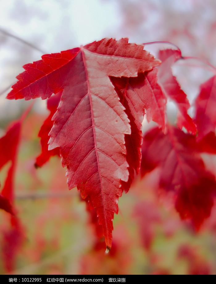 红色叶子图片