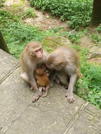 张家界武陵源国家森林公园猴子