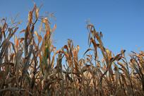 庄稼玉米地
