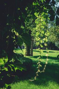 大树垂下枝叶