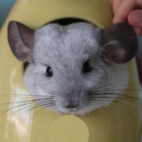 灰白色龙猫脸部近摄高清特写