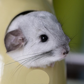 灰白色龙猫左侧脸部近摄特写