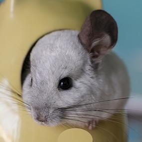 警觉观察的灰白色龙猫