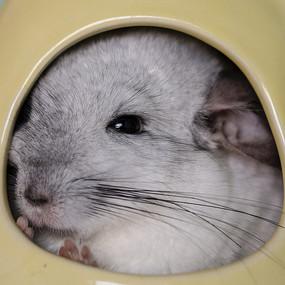 卖萌的灰白色龙猫