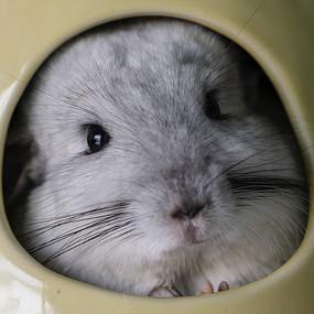 一脸馋相的灰白色龙猫近摄特写