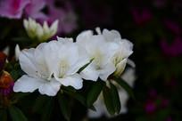 两朵白色杜鹃花