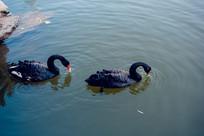 水中两只鹅