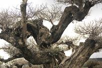 老树枯枝新生