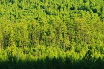 茂密松林景观