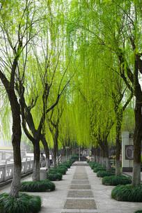 春天的杨柳