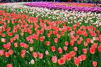 多色彩的郁金香