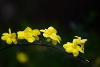 金色的迎春花