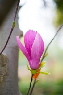 一朵玉兰花