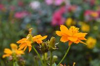 橙黄色百日菊