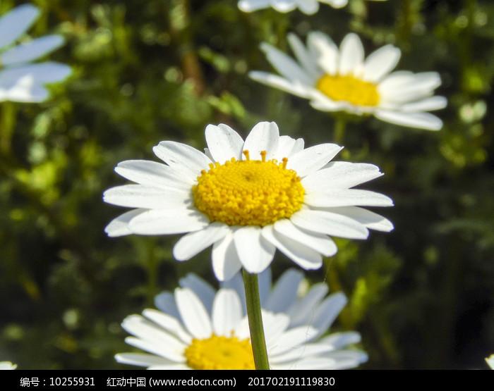 春天盛开的黄色野菊花摄影图片