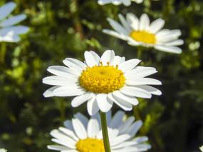 春天盛开的黄色野菊花摄影