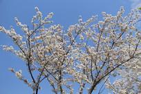 蓝色天空绽放樱花