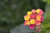 珊瑚球花朵