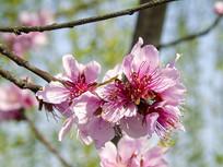 一束樱花盛开图片