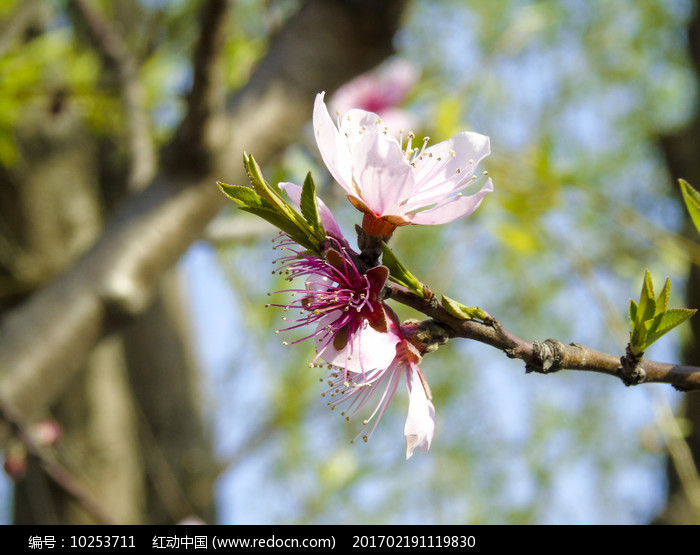 一支樱花花蕊实拍图图片