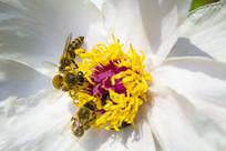 在牡丹花蕊上采蜜的蜜蜂