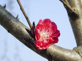 枝头粉色樱花图片