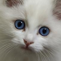 10周龄布偶猫面部特写