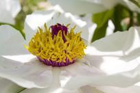 白牡丹花蕊