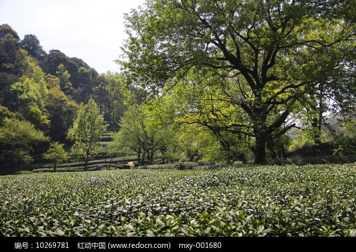 茶园古树图片