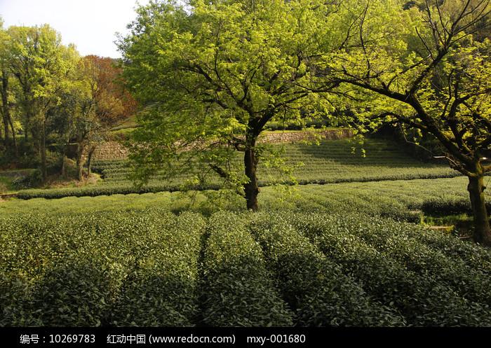 古树茶园图片