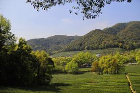 龙井产茶区