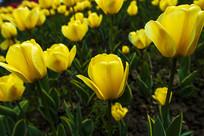 盛开的黄色郁金香