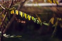 秋天一枝树叶