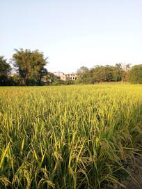 一大片黄澄澄的稻谷