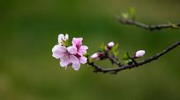 一枝纯色背景的漂亮桃花