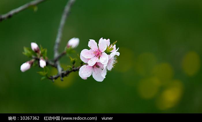 一枝盛开的桃花图片