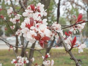 紫叶李摄影图片
