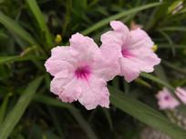 两朵娇艳的粉色蓝花草