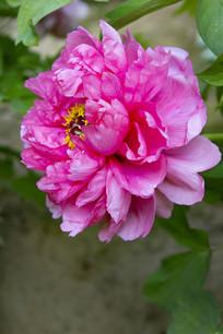 牡丹花侧面花形