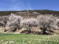 林芝草地上的桃花