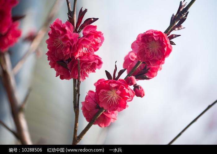 美丽的紫叶桃花图片