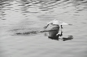 起飞的白鹭