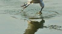 收获食物的白鹭