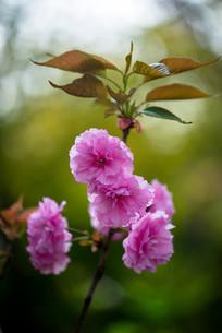 树枝上的樱花花朵