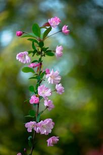 一枝垂丝海棠