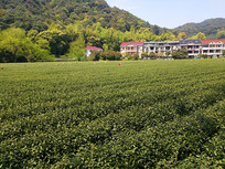 采茶茶园农家