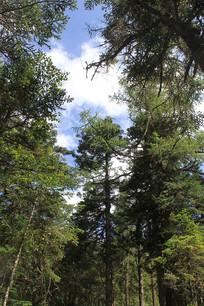 黄龙森林植被